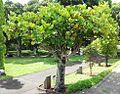 Gastonia mauritiana - Pamplemousses 5.jpg