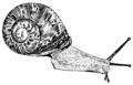 Gastropod (PSF).png