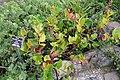 Gaultheria shallon - Regional Parks Botanic Garden, Berkeley, CA - DSC04505.JPG