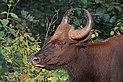 Gaur (Bos gaurus) female head.jpg