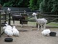 Geese and alpacas.jpg