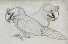 1601 sketch of the broad-billed parrot