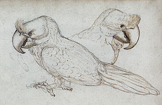 Broad-billed parrot - Sketch of two individuals in the Gelderland ship's journal, 1601