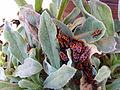 Gemeine Feuerwanze (Pyrrhocoris apterus) 02.jpg