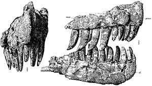 Genyodectes - Illustration of the type specimen from the original description