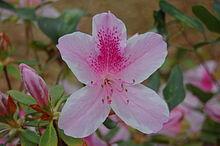 Azalea - Wikipedia
