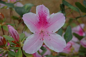 Azalea - A George Taber azalea
