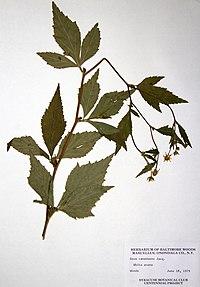 Geum canadense BW-1979-0618-0618.jpg