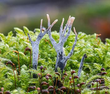 Staghorn fungus Xylaria hypoxylon