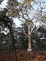 Ghost tree pench national forest.jpg