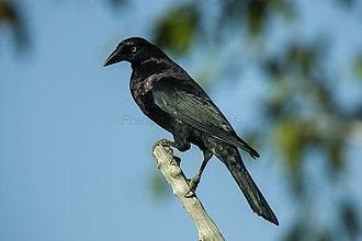 Cowbird - Image: Giant Cowbird Pantanal Brazil H8O0545 (23593619780)