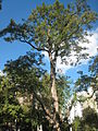 Giant locust tree.JPG