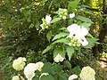 Giardino botanico di Brera (Milan 42.jpg