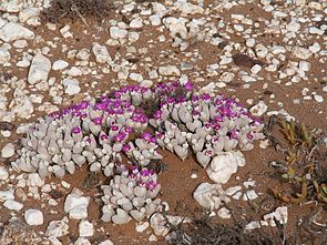 Gibbaeum pubescens im Anysberg Naturschutzgebiet, Südafrika.