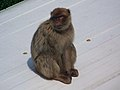 Gibraltar Barbary Macaque on a bus.jpg