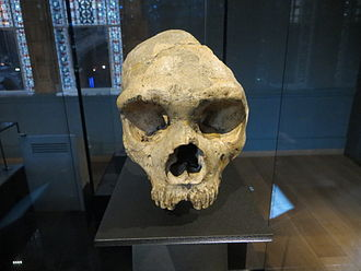 Gibraltar 1 - Front view of the skull in the Natural History Museum, London