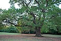 Gilwell Park London - Gillwell Oak.jpg
