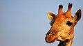 Giraffe KrugerNP.jpeg
