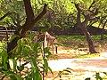 Giraffe in Delhi.jpg