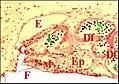 Glandes prégonoporales de Filistata.jpg