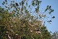 Gliricidia sepium Flowers ശീമക്കൊന്ന പൂവുകള്.JPG