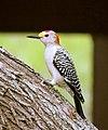 Golden-fronted Woodpecker (26087293906).jpg