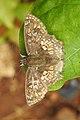 Golden Angle Golden Angle Caprona ransonnettii potiphera WSF Male by Dr. Raju Kasambe DSCN1840 (3).jpg