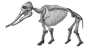 Gomphotherium angustidens