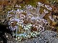 Goniopora djiboutiensis (Soft coral).jpg