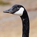 Goose Spooky Eye - Bernache Coqueloeil (2385324569).jpg