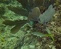 Gorgonia ventalina - purple sea fan - Ocyurus chrysurus - yellowtail snapper and Abudefduf saxatilis - sergeant major - Punta Cana - Dominican Republic.jpg