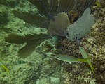 Gorgonia ventalina - purple sea fan - Ocyurus chrysurus - yellowtail snapper and Abudefduf saxatilis - sergeant major - Punta Cana - Dominican Republic.jpg