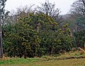 Gorse Flowering at Thornton Abbey on New Years Day - geograph.org.uk - 645936.jpg