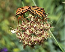 Graphosoma lineatum mating (6).jpg