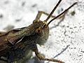 Grasshopper (2748982217).jpg