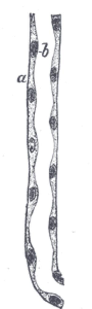 Descending limb of loop of Henle - Image: Gray 1131