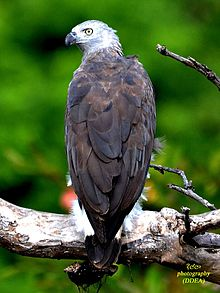 Gray headed fish eagle.jpg