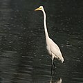 Great Egret (Casmerodius albus)- Non-breeding plumage in Kolkata W IMG 4414.jpg