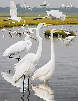 Great Egret From The Crossley ID Guide Eastern Birds