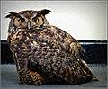 Great Horned Owl (7170648781).jpg