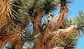 Great Horned Owl (Bubo virginianus) in Joshua tree (Yucca brevifolia) near Black Rock.jpg