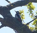 Great Spotted Woodpecker. Dendrocopos major (1) - Flickr - gailhampshire.jpg
