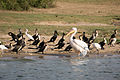 Great white pelican and white-breasted cormorants - Queen Elizabeth National Park, Uganda.jpg