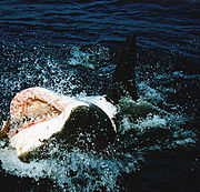 Great white shark at his back11