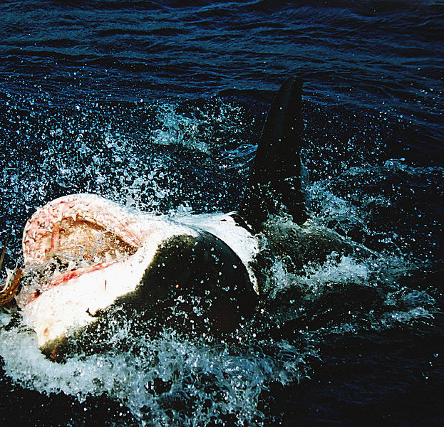 File:Great white shark at his back11.jpg