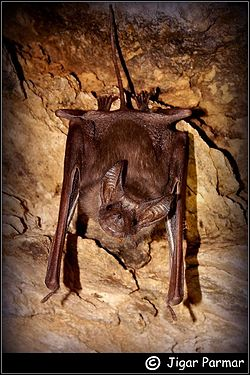 Greater Mouse-tailed bat(Rhinopoma microphyllum).jpg