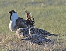 Greater Sage-Grouse (8694401662).jpg