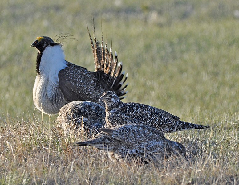File:Greater Sage-Grouse (8694401662).jpg