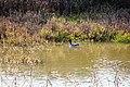 Green-winged teal (31689061275).jpg