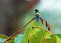 Green Thorntail 2.jpg